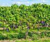 druiven druiven met een bordeauxrode kleur